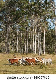 Australian beef cattle herd of cows on ranch with tall eucalyptus gum tree forest background