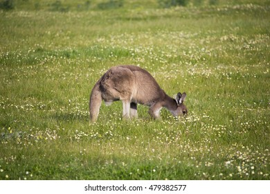 Australian  brown kangaroo macropus rufus grazing on a cloudy late afternoon   in a paddock of green grass   after early spring  rains .