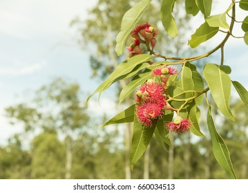Australian bush background with native gum trees and red flowering eucalyptus gumtree