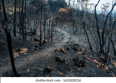 Australian bushfire aftermath: burnt eucalyptus trees suffered from a wildfire and black sole