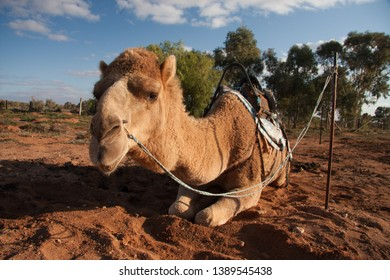 Australian Camels, the australia Outback if full of wild life.