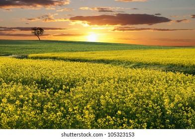 Australian canola field with the sun setting