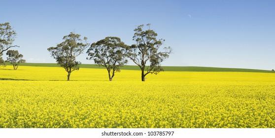 Australian Canola Fields