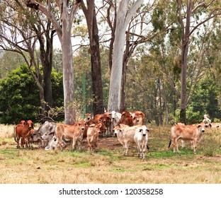 Australian cattle country herd of brahman cows by large eucalyptus gum trees landscape
