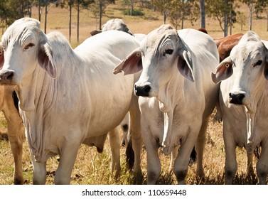 Australian cattle cow herd on ranch three 3 grey Zebu Brahman beef cows, bullocks bred for meat industry
