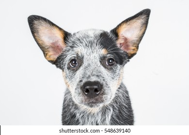 Australian cattle dog, ACD, puppy dog