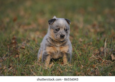 australian cattle dog (aka Blue heeler) puppy aged five weeks from the Inchgarth cattle dog stud, Himeville,south africa
