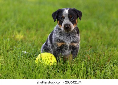 An Australian Cattle Dog (also known as a Blue Heeler) sits in some lush green grass with a baseball ready to play