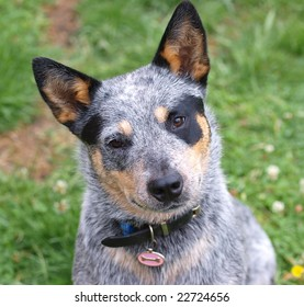 Australian Cattle Dog with Black Eye Patch