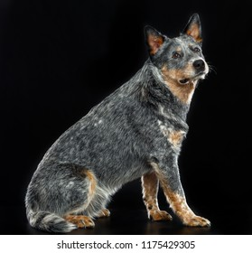 Australian Cattle Dog, Blue Heeler Dog  Isolated  on Black Background in studio