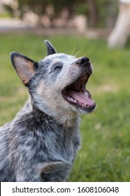 Australian Cattle Dog or Blue Heeler puppy yawning.