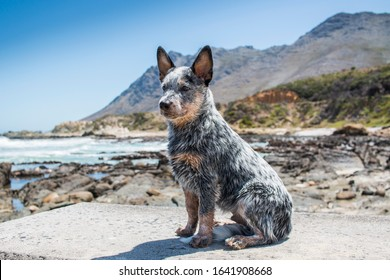 Australian Cattle Dog or Blue Heeler Puppy outdoors seaside full length portrait looking off into the distance