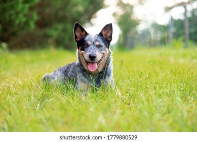Australian Cattle Dog Blue Heeler laying down in grass on a little country road