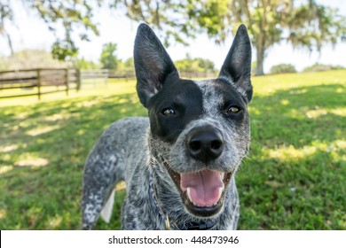 Australian Cattle Dog or Blue Heeler dog close up outside in yard or natural setting panting and looking happy curious interested alert ready