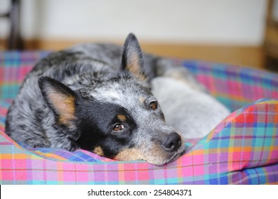 Australian Cattle Dog  feeds her 18 day old puppy. Aka Blue Heelers, they are born white and take on their natural brindled blue as they grow.