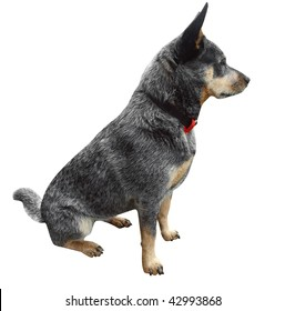 Australian Cattle Dog isolated with clipping path