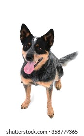 Australian cattle dog isolated on white background