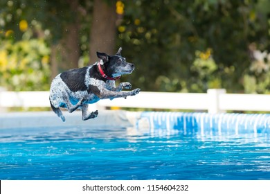 Australian Cattle Dog jumping in pool of water.  Queensland dog breed