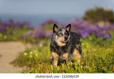 Australian Cattle Dog outdoor portrait in field with purple flowers