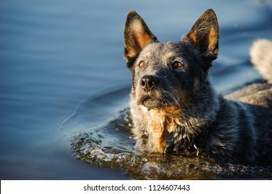 Australian Cattle Dog outdoor portrait in water