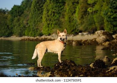 Australian Cattle Dog outdoor portrait standing by mountain lake