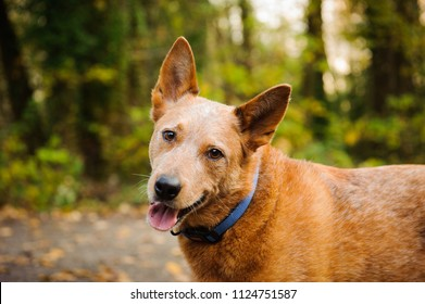 Australian Cattle Dog outdoor portrait in forest