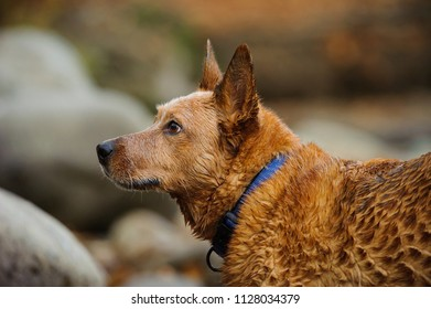 Australian Cattle Dog outdoor portrait