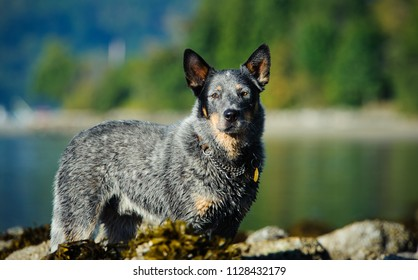 Australian Cattle Dog outdoor portrait standing by lake