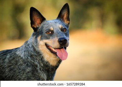 Australian Cattle Dog outdoor portrait looking at camera