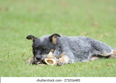 Australian Cattle Dog. Pedigree Puppy aged 10 weeks. Eating a bone.  aka Blue Heelers.