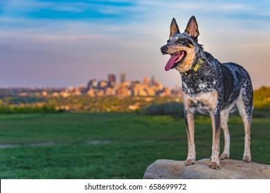 Australian Cattle Dog playing at a city park, Calgary Alberta, Canada