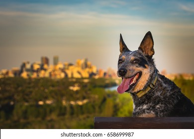 Australian Cattle Dog playing at a city park, Calgary Alberta, Canada