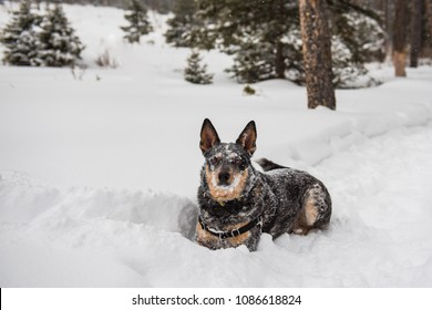 Australian Cattle Dog playing in the snow in the mountains, Banff National Park, Alberta Canada.