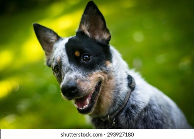 Australian Cattle Dog portrait