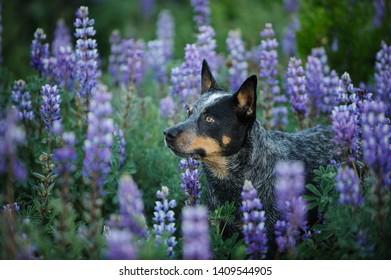 Australian Cattle Dog portrait in field of purple lupin flowers