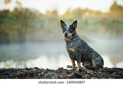 Australian Cattle Dog portrait sitting by foggy pond