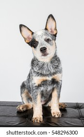 Australian cattle dog puppy, ACD