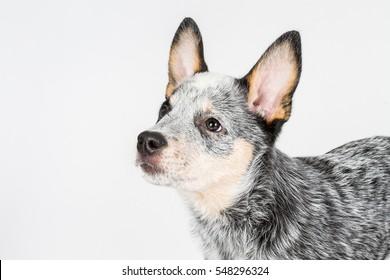 Australian cattle dog puppy, ACD