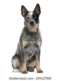 Australian Cattle Dog sitting in front of a white background