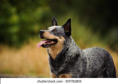 Australian Cattle Dog standing in a field happy