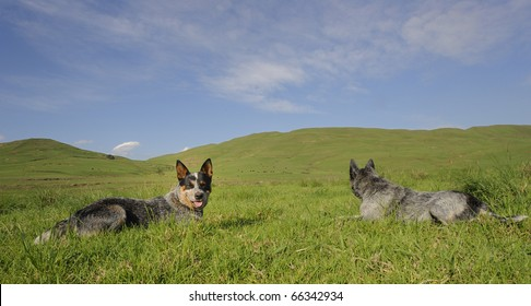AUSTRALIAN CATTLE DOGS, male and female ;   A cross between dingo, Smithfield herder  & Timmin's biter, ACD's, aka Blue Heelers are a hardy and intelligent breed