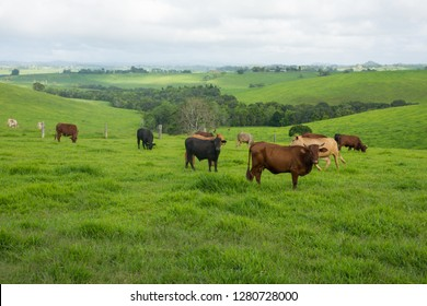 Australian Cattle farm with green pasture, brown cows and dark stormy skies
