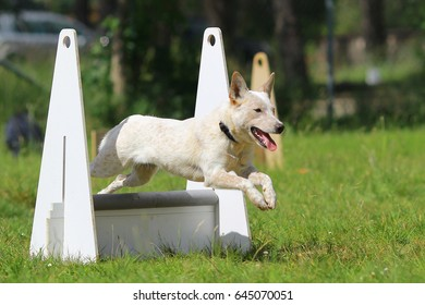 Australian cattle flyball
