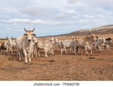 Australian cattle with horns on the move in the outback. outback wildlife desert cows.