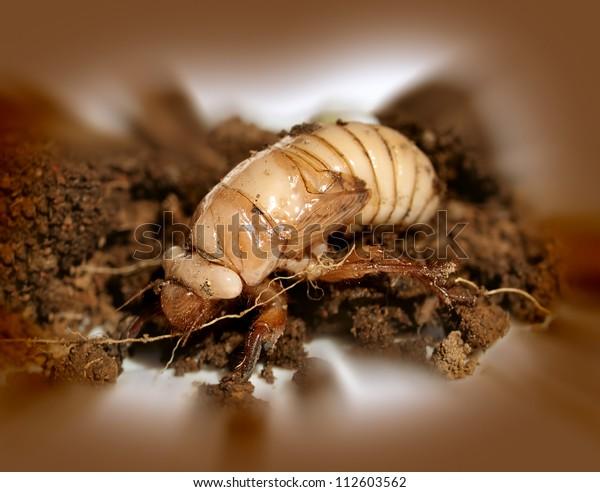 Australian Christmas Beetle.Australian Christmas Beetle Larvae Scarabaeidae