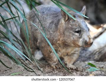 australian common wombat , queensland, australia