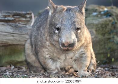 australian common wombat , queensland, australia. hairy nosed quadrupedal marsupial Vombatidae