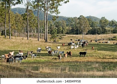 Australian country landscape beef cattle on rural ranch farm land and gum trees