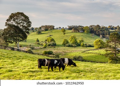 Australian countryside. Friesian cattle in paddock, Sunshine coast, Queensland, Australia
