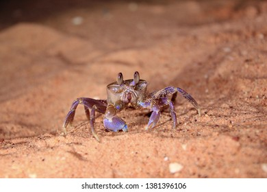 Australian crabs on the sandy beach